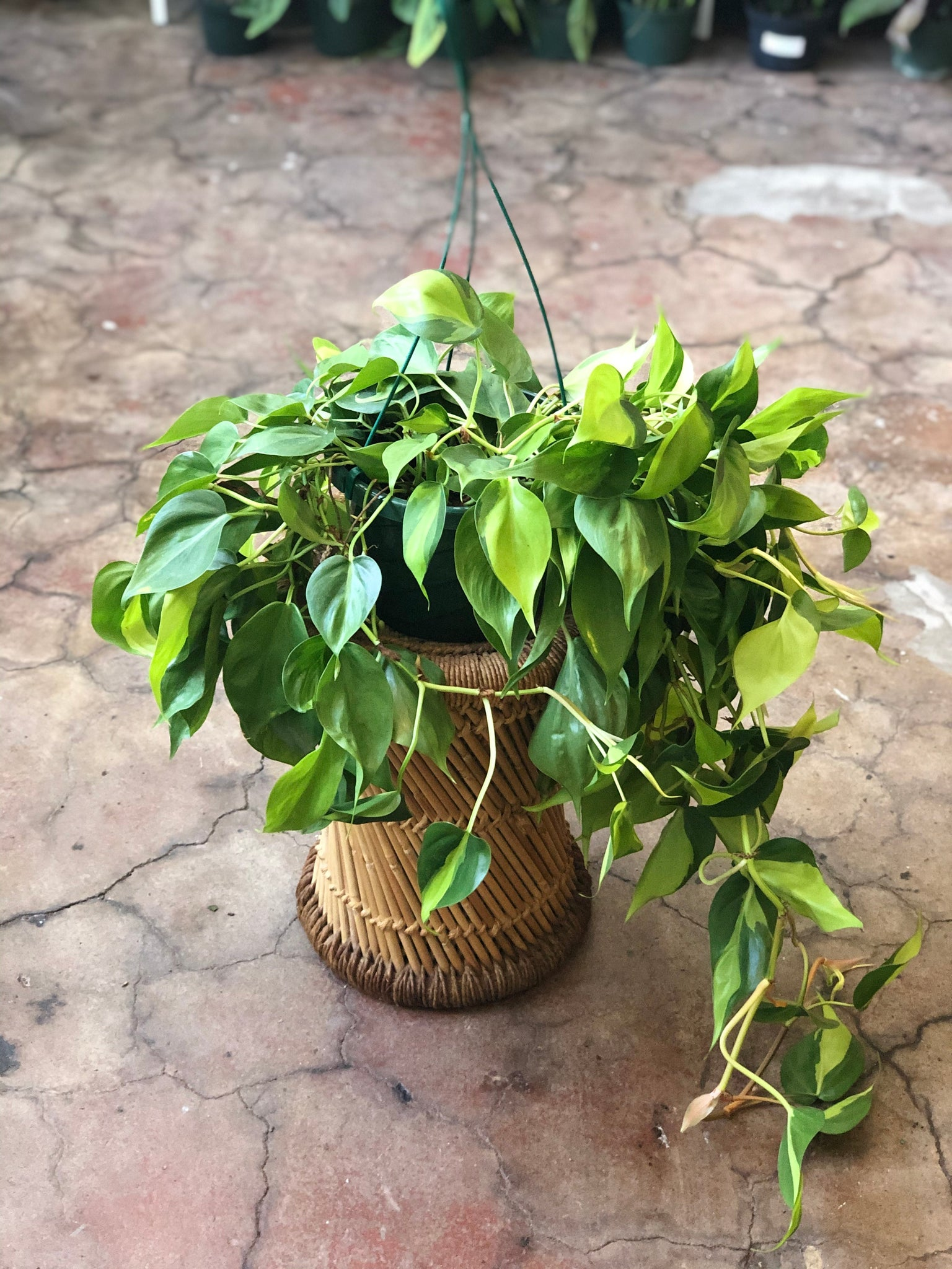 Philodendron Brazil Hanging Basket 8""