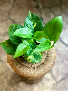 "Golden Pothos 4"" & 6"""