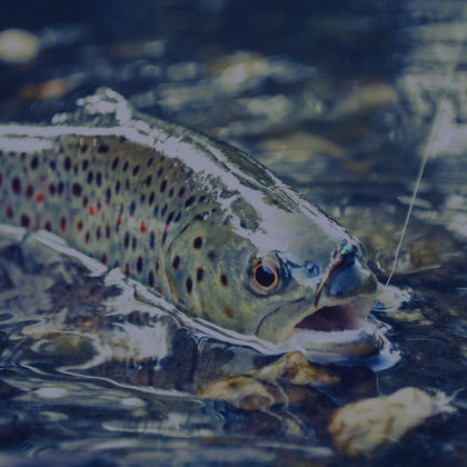 Colorful fish on fishing line in creek outdoors | Summit Creek Shop