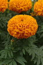 Load image into Gallery viewer, Marigold - African