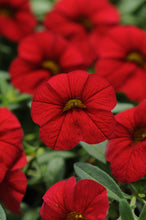 Load image into Gallery viewer, Calibrachoa/Million Bells