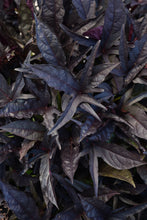 Load image into Gallery viewer, Sweet Potato Vine/Ipomea