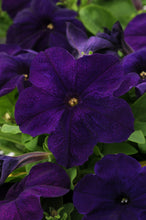 Load image into Gallery viewer, Petunia
