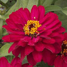 Load image into Gallery viewer, Zinnia