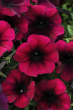 Load image into Gallery viewer, Petunia- Wave