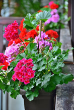 Load image into Gallery viewer, Geraniums