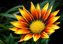 Load image into Gallery viewer, Gazania