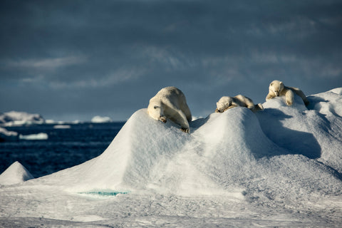 Polar Bear Family - Greenland