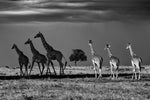 Dark side of the Plains, six giraffes - Kenya