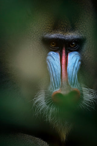 The Mandrill - Gabon