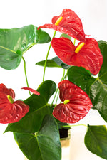 Red Anthurium in Gold Planter