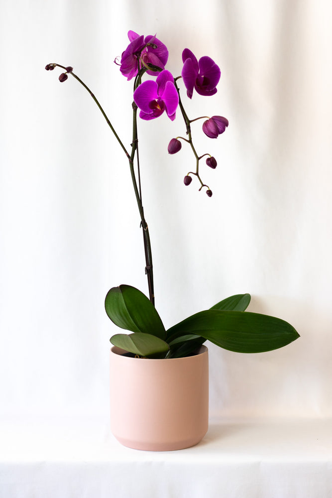 Orchids In Pink Planter House of Fiori Vancouver Studio