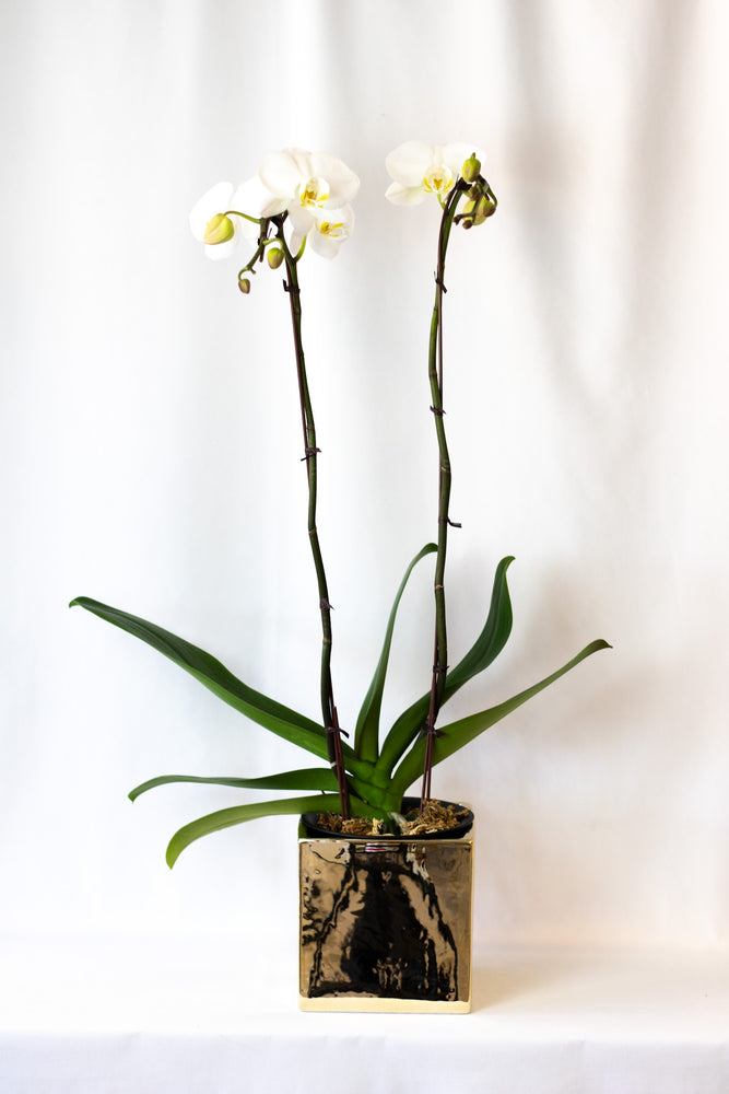Orchids In Gold Planter House of Fiori Vancouver Studio