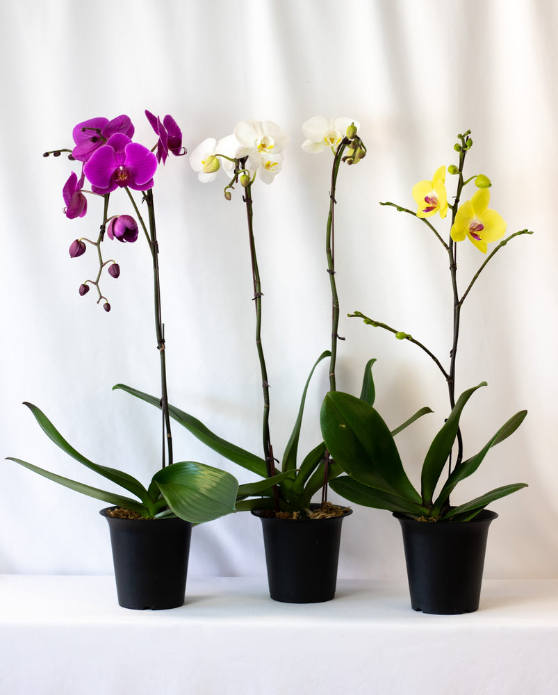 Phalaenopsis Orchids in House of Fiori Vancouver Studio