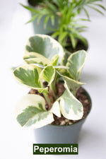Peperomia | Vancouver Florist | House of Fiori