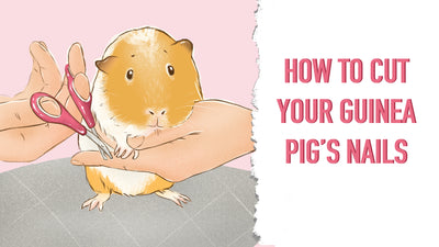 Step-by-Step Guide on How to Cut Your Guinea Pig's Nails