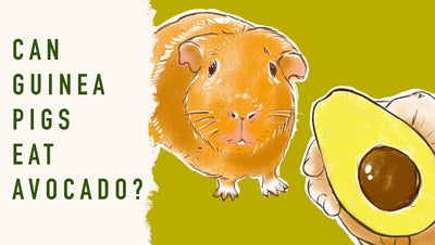 Can Guinea Pigs Eat Avocado?
