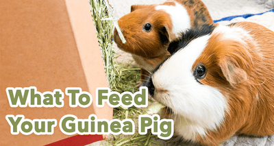 The Best Vegetables for Guinea Pigs: Guinea Pig Diet In-Depth Guide