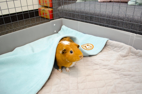 this bog explains fun ways to help stimulate your guinea pigs mind so that they will live a happier life