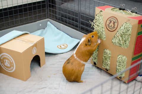 Guinea Pig eating timothy-grass hay