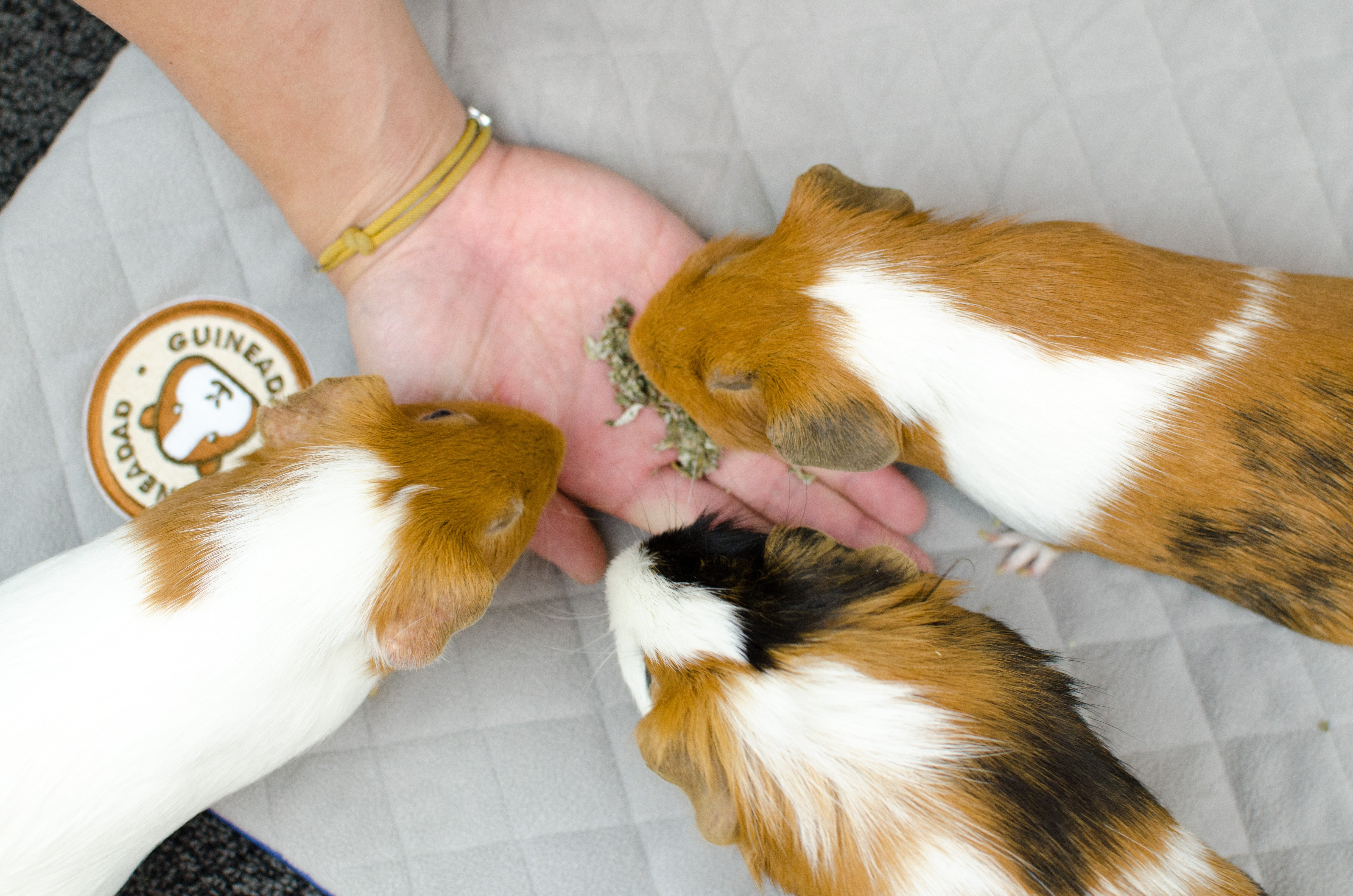 why does my guinea pig lick me