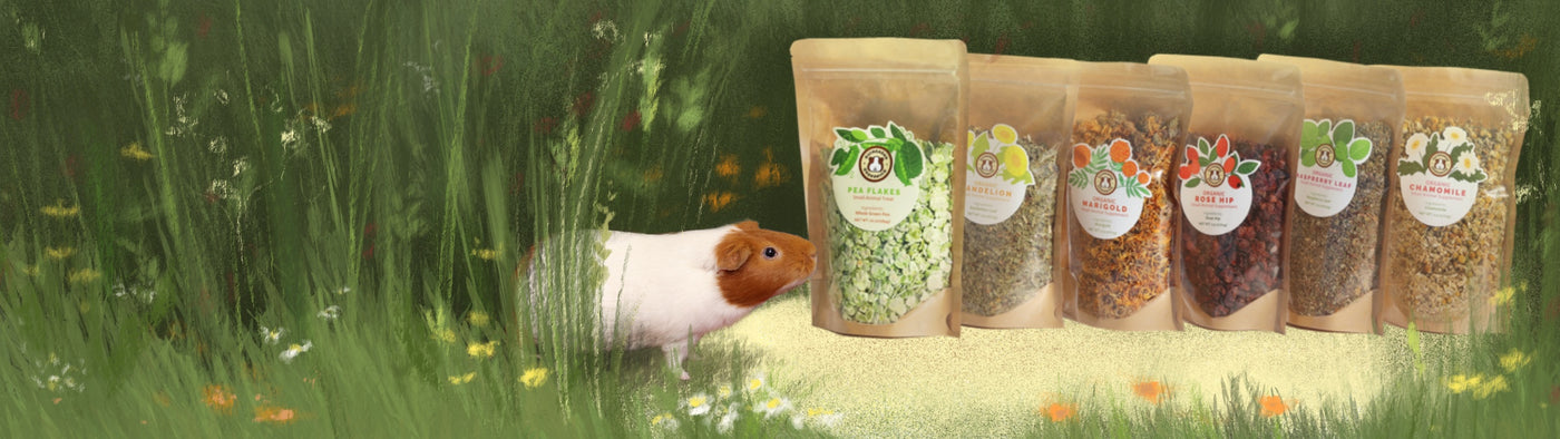 healthy treat for guinea pigs with all natural ingredients. Pea flakes are a healthy treat for guinea pigs