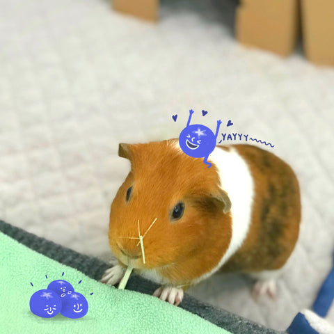 can guinea pigs eat blueberry
