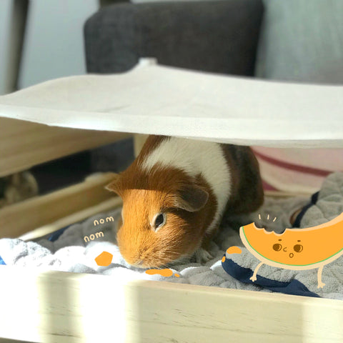 can guinea pigs eat cantelope