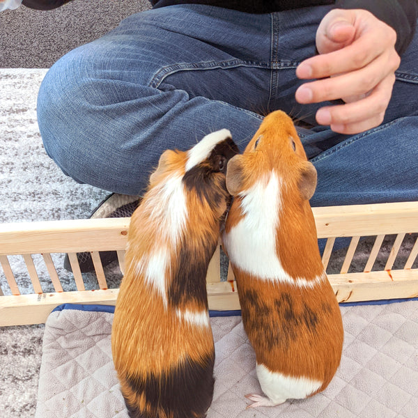 how to tell guinea pigs are happy