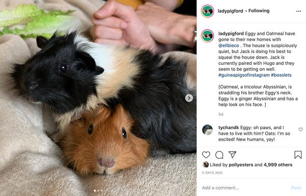 spending time with guinea pigs