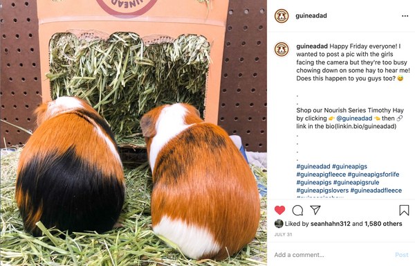 guinea pigs eat fresh green timothy grass hay