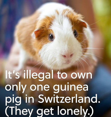 pics of guinea pigs