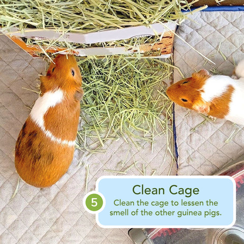 how to clean guinea pig cages