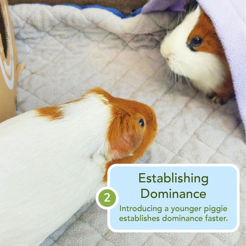 what to do when guinea pigs are fighting