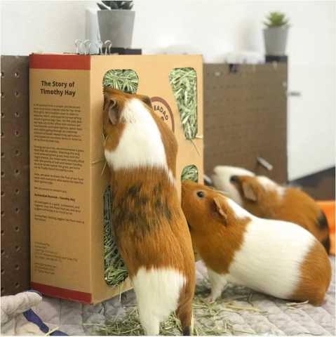 guinea pig eating timothy-grass hay from guineadad nourish series timothy hay