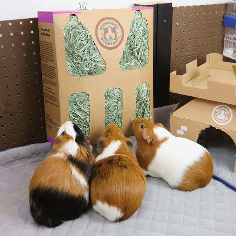 fresh orchard grass hay for guinea pigs