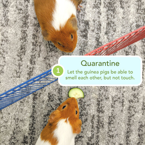 how to bond new guinea pig