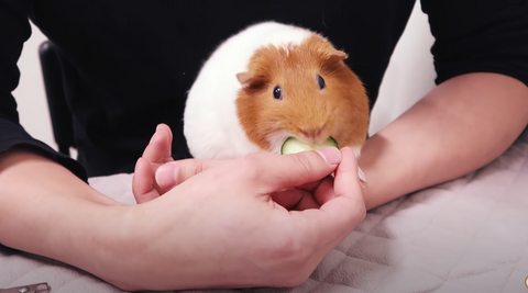 when cutting guinea pig's nail make sure to provide treats and/or fresh vegetables so that they are able to relax and also to provide positive reinforcement