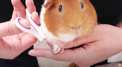 when cutting guinea pig's nail make sure to gently and firmly grab your guinea pig's paw so that they don't get hurt while cutting their nails