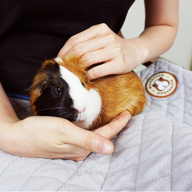 Guinea Pig Being Gently Held on Top of GuineaDad Fleece Liner