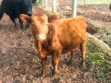 B&B's 4 Red Bull Calves / Out of Bar J Brook and Vitulus Red Baron