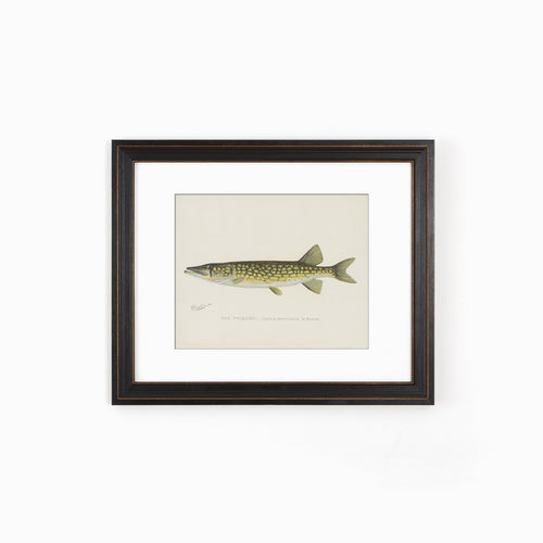 Pickerel Illustration