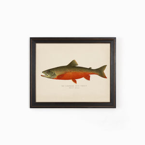 Red Trout Illustration