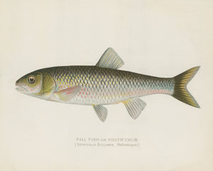 Silver Chub Illustration