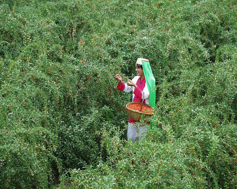 Wolfberry harvest celebration in Ningxia Province