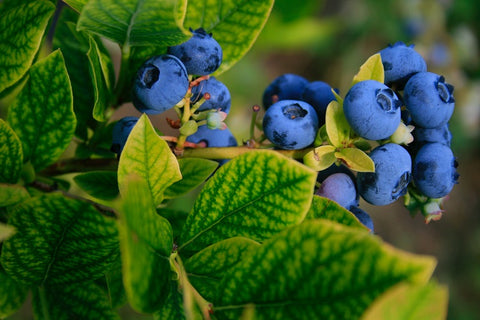 blueberries bush with green leaves