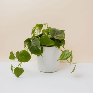 "Philodendron Cordatum in 7"" White Unfinished Pot"