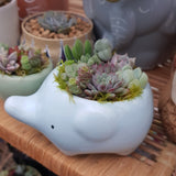 Succulent arrangement in elephant planter