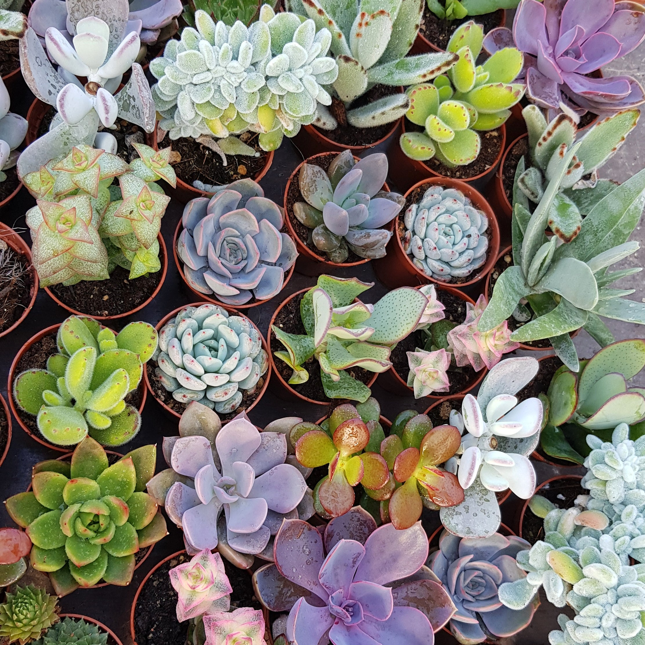 Set of 10 mixed succulents
