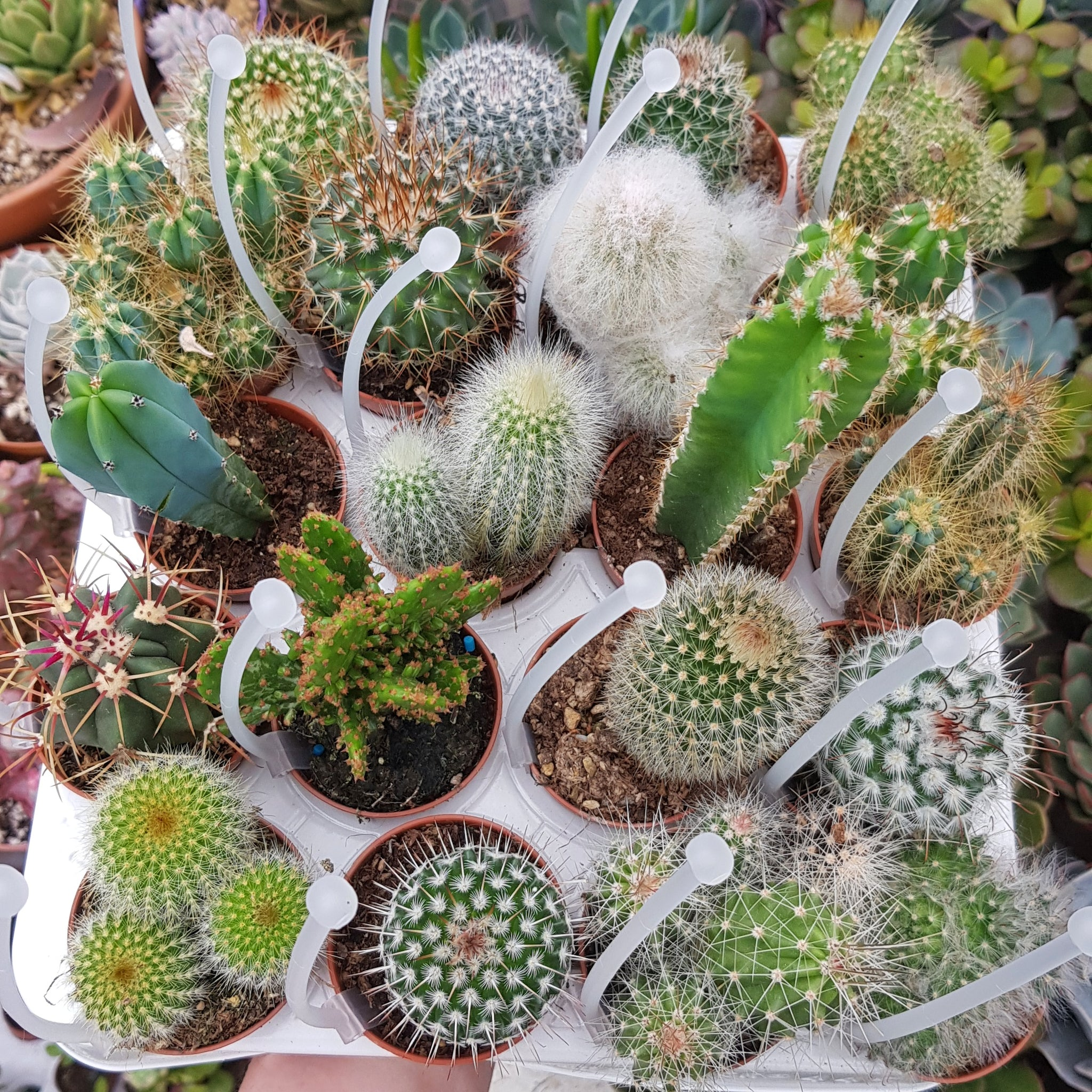 Set of 5 Cacti